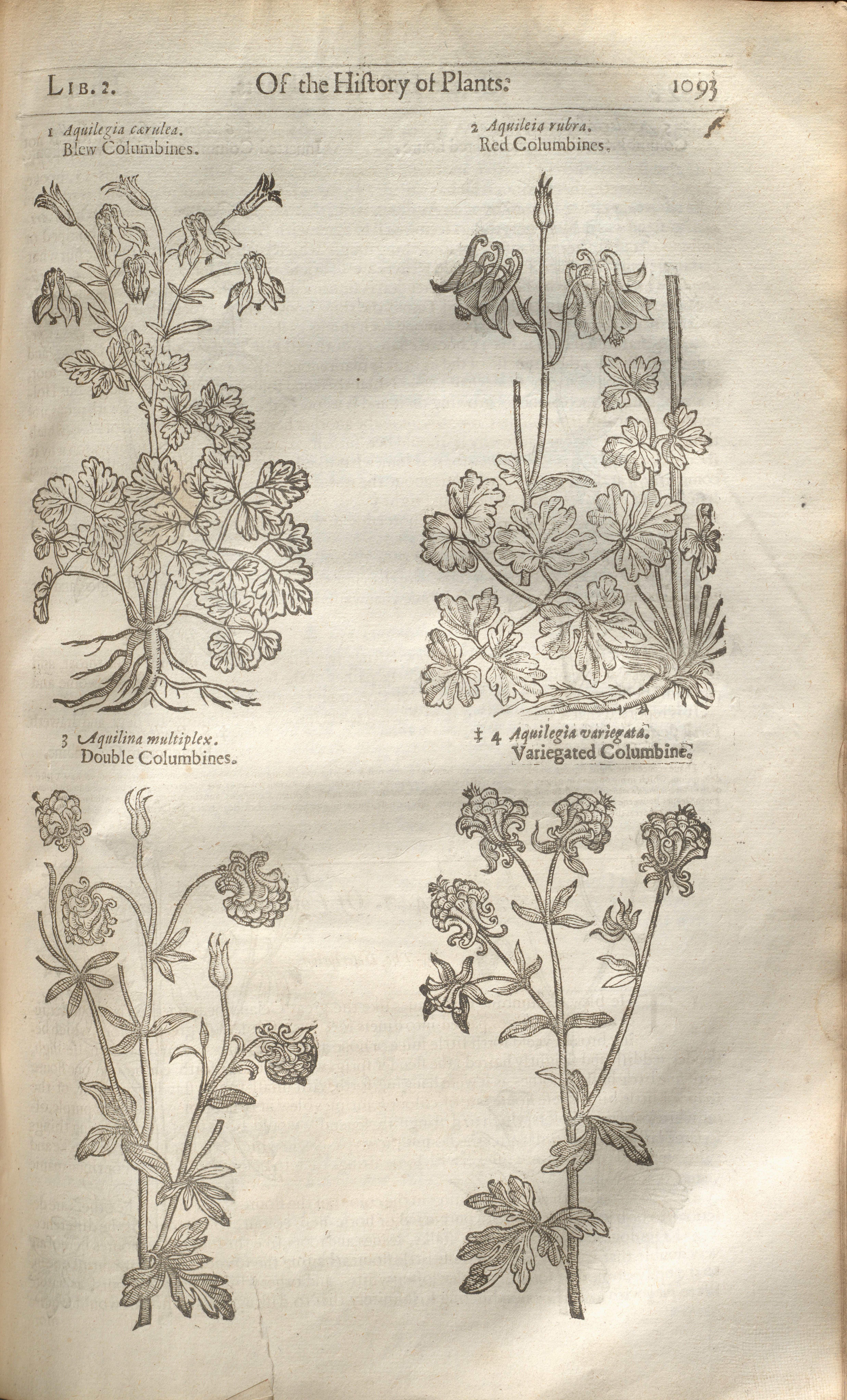 Title page and columbine illustrations from John Gerard's The Herball …, London, England, 1633. This publication proves that even within the study of plant life, historical content lingers.